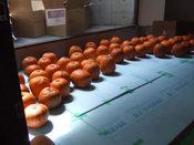 かぼちゃ搬入-09